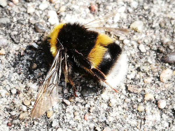"""""""One bumblebee in last stage of life"""" Insect One Animal Animal Themes Animals In The Wild Close-up Animal Wildlife No People Outdoors Day Nature Bee"""