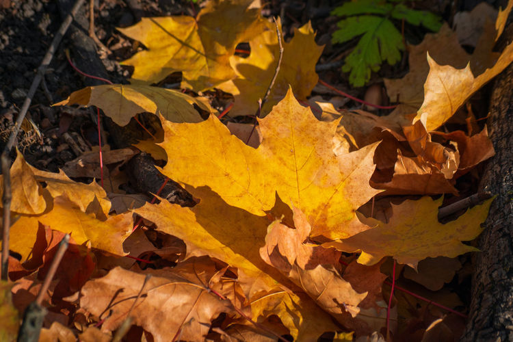High angle view of yellow maple leaves