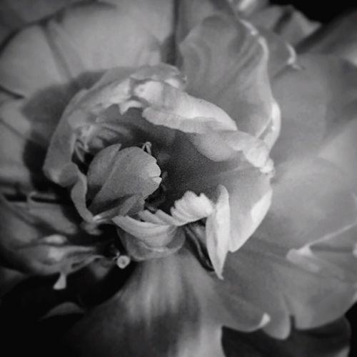 Tulip Tulip Flowers Flower Art Artphoto Blackandwhite B&w Photo B&w Flowers Artistic Photo Decorative Home Decoration  Lifestylehotographer Fine Art Photography Showing Imperfection Black & White Beautiful Flower Calmness in Lahti, Finland EyeEm Best Shots EyeEm Gallery Eye4photography  EyeEm EyeEmBestPics TheWeekOnEyeEM Still Life