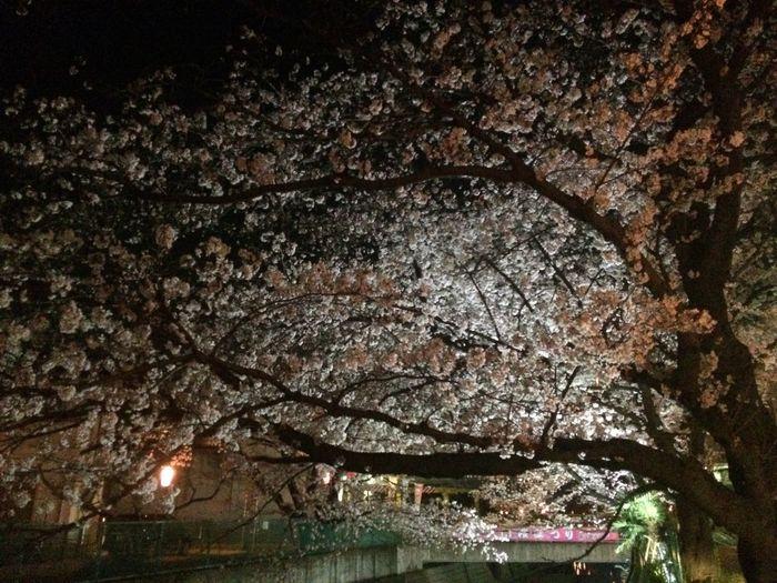 麻生川の夜桜🌸 Asaogawa's cherry blossom at night.