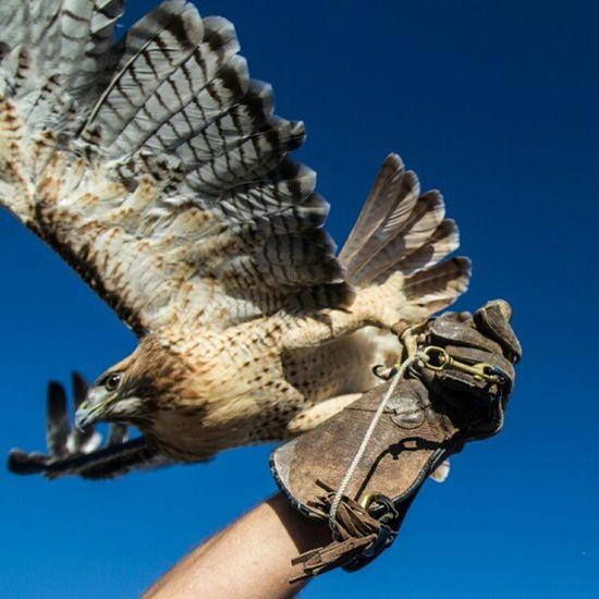 Red FlyHigh Redtail Hawk Birdofprey Rip Smilebright