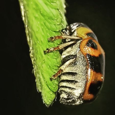 The fat. Si gemuk lege. Tgif_macro Tgif_insects Insect Insectstagram alalamiya_macro macroworld_tr