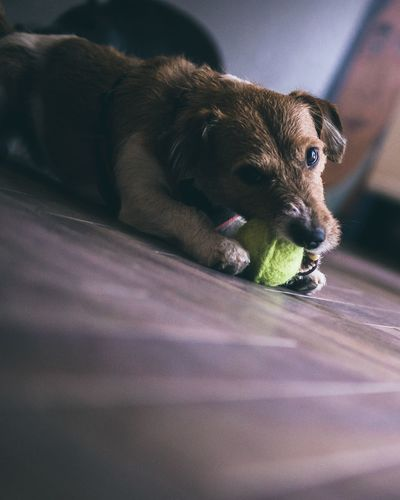 Close-up of puppy with ball on floor
