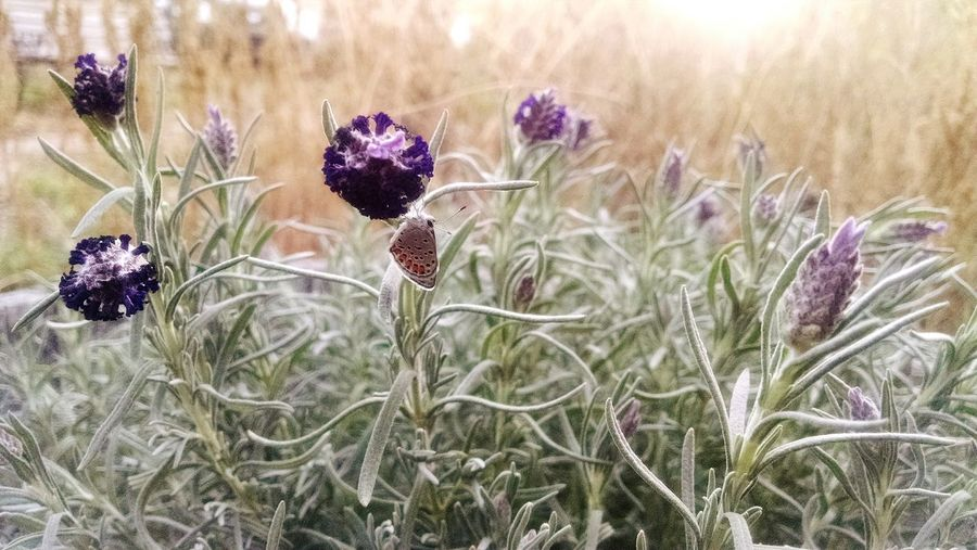 Lavenderflower Flower Plant Nature Growth Wildflower Beauty In Nature Uncultivated Winter Field Purple No People Thistle Fragility Tranquil Scene Lavender Horizontal Close-up Aromatherapy Flower Head Outdoors Moth Arizona Perspectives On Nature