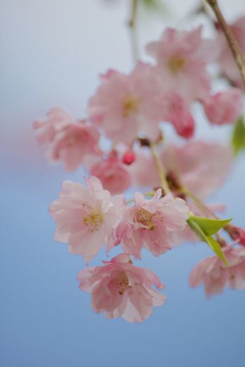 Close-up of pink cherry blossom against blue background