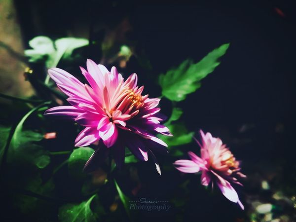 Chandramallika flower Flower Pink Flower Winter Flowers Nature_collection Nature Photography Naturelovers Flower Collection Flower Photography India Like4like Likeforlike Flower Petal Pink Color Plant Fragility Nature Blossom