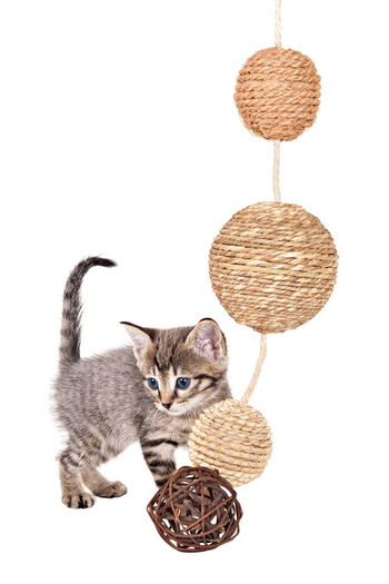 Animal Themes Basket Cat Day Domestic Animals Domestic Cat Feline Hanging Indoors  Kitten Looking At Camera Mammal No People One Animal Pets Portrait Sitting White Background