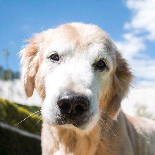 Close-up of loyal dog looking at camera