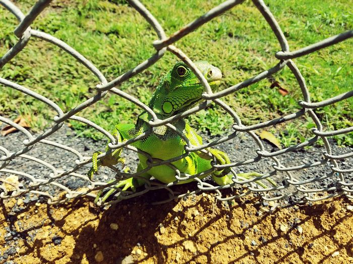 Samsung Galaxy S7 Enjoying Life Taking Photos Check This Out Hello World Cheese! Follow Me On EyeEm Beautiful HD My Island PUERTO RICO Photography By Me Eyeem Puerto Rico EyeEm EyeEm Team Perfect View Followme Iguana Green Green Green!  Green Iguana Green Color Young Iguana Young Animal Nature Zoology EyeEmNewHere TCPM Art Is Everywhere Break The Mold Lost In The Landscape