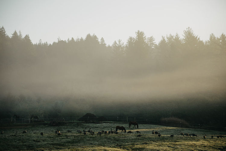 Horses Ducks Animals Animals In The Wild Oregon Pacific Northwest  Farm Farm Life Farm Animals Tree Plant Fog Nature Land Sky Environment Field Beauty In Nature Day Landscape Large Group Of Animals Group Of Animals Animal Themes Livestock Animal Tranquil Scene No People Tranquility Outdoors