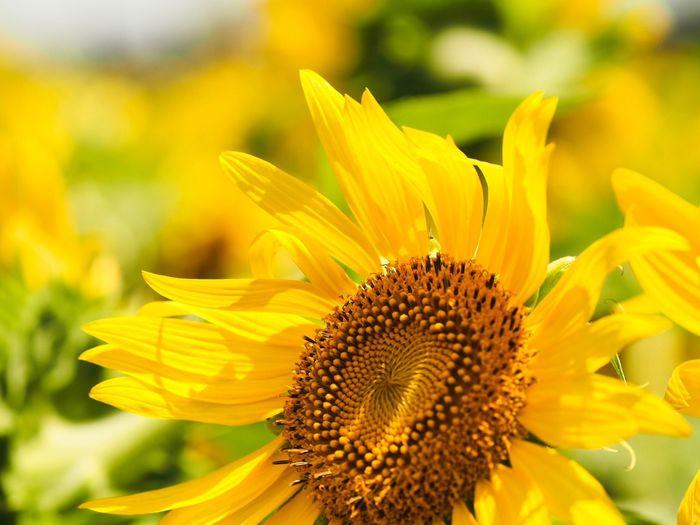おはようございます🌻 ひまわりばかり投稿してますが決してハムスター🐹ではありません。 Olympus OM-D E-M5 Mk.II Tokyo Street Photography Flower Flowering Plant Fragility Petal Flower Head Freshness Vulnerability  Sunflower Close-up Focus On Foreground Yellow