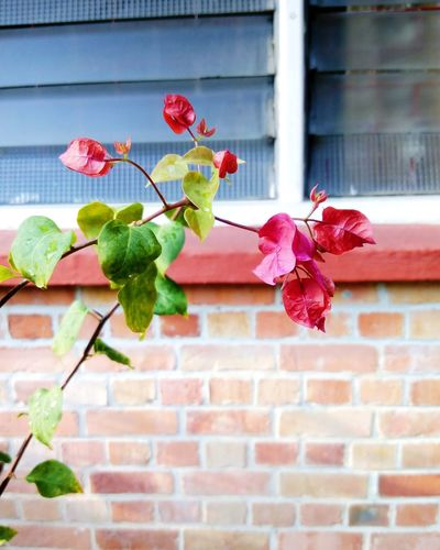 Close-up of bougainvillea against house