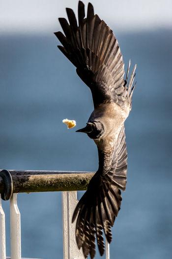 Raven Reaching Towards Food In Mid-Air Against Sea