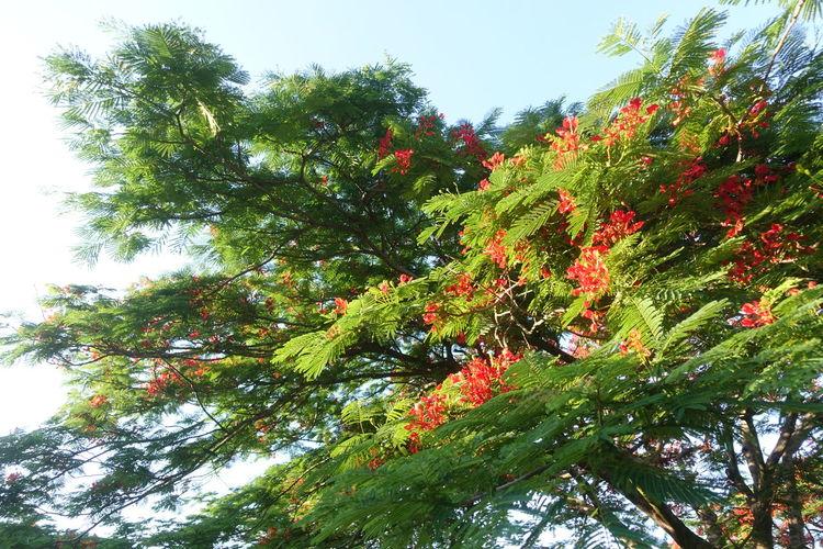 Tree Branch Leaf Fruit Sky Green Color Plant