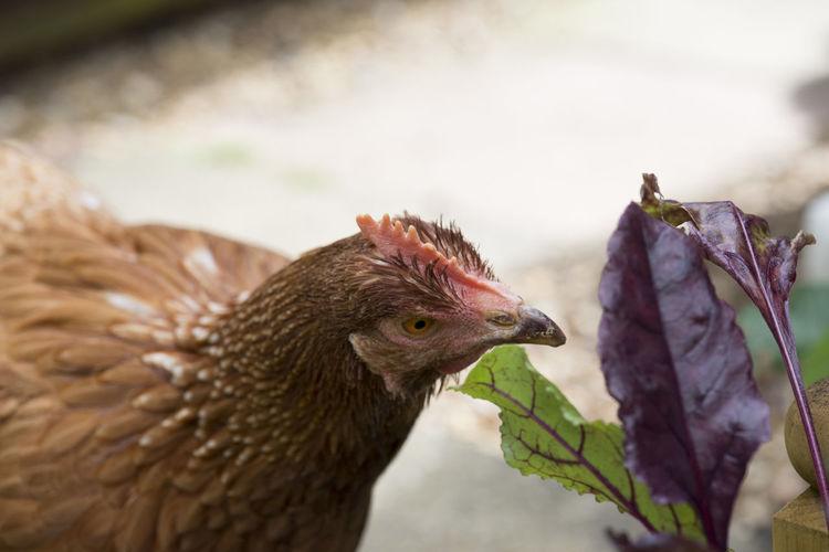 Chicken Bird
