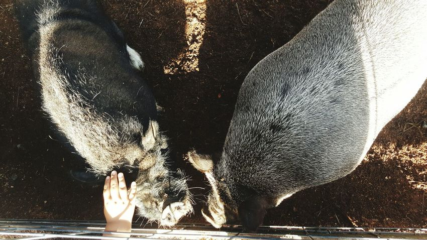 Real People One Person Day Outdoors Animal Themes Pigs Farm Petting Kid Hand  Kid