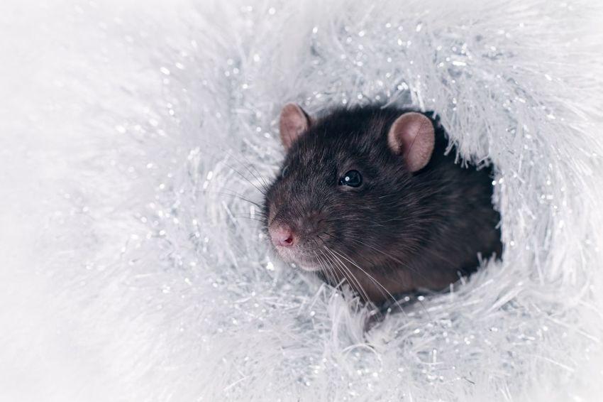 Cute rodent in a silver stole. Copy Space Cute Pets Cuteness FUNNY ANIMALS Horizontal Rat Animal Portrait Black Looking Sideways Mammal Pentax Pest Pet Rattusnorvegicus Rodent Rodentlove Tinsel