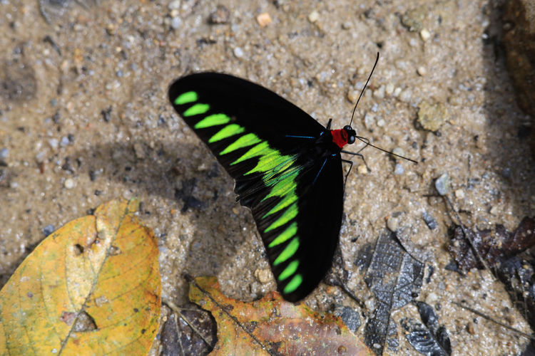 One Animal Animal Themes Animals In The Wild Animal Insect Animal Wildlife Invertebrate Solid Black Color No People Day Nature Rock Animal Wing Rock - Object Close-up Outdoors Zoology High Angle View Focus On Foreground Butterfly - Insect Butterfly Marine