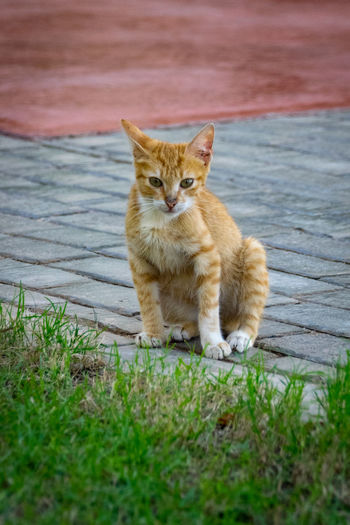 ginger kitten Ginger Cat Ginger Kitty Kittens Kitty Animal Themes Day Domestic Animals Domestic Cat Feline Ginger Kitten Ginger Kittens Grass Kitten Looking At Camera Mammal Nature No People One Animal Outdoors Pets Portrait Sitting