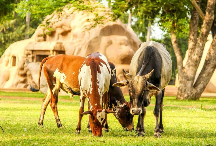 Animal Themes Mammal Domestic Animals Two Animals Full Length Togetherness Grass Vertebrate Field Focus On Foreground Animal Young Animal Livestock Herbivorous Day Green Color Zoology Grassy Outdoors Working Animals Cows In The Feilds CreativePhotographer Indian Photographer Green Color Livestock
