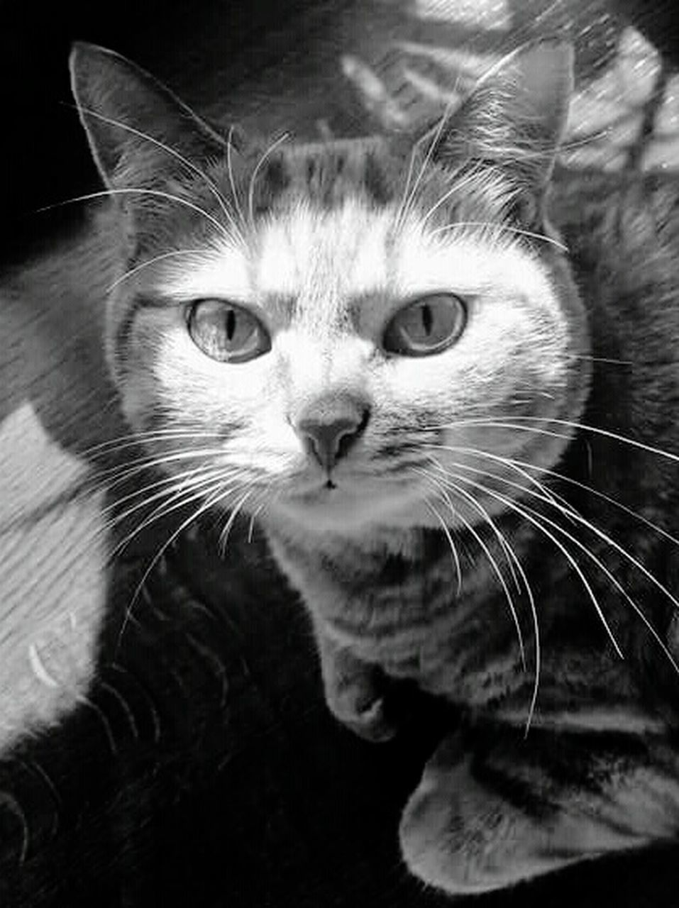 domestic cat, pets, whisker, domestic animals, feline, one animal, animal themes, portrait, mammal, close-up, looking at camera, no people, indoors, day
