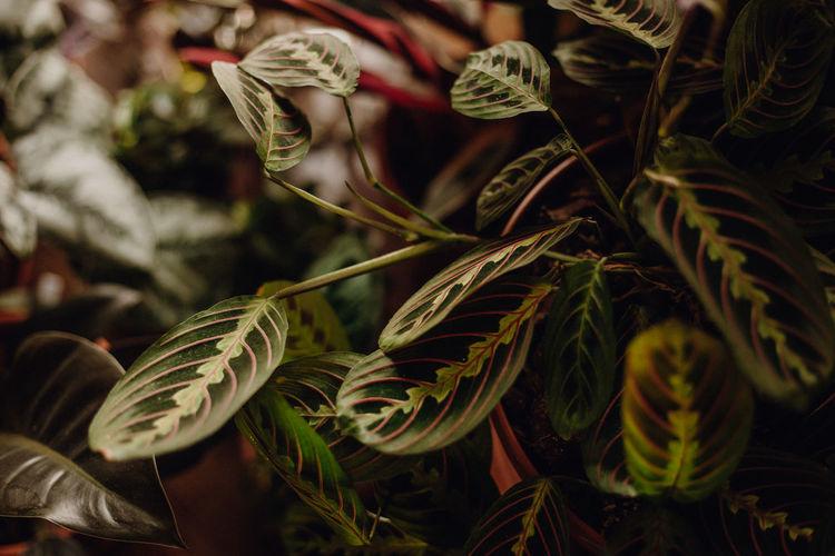 Plants collection in small millenials' rental flat, marantha tricolor, maranta