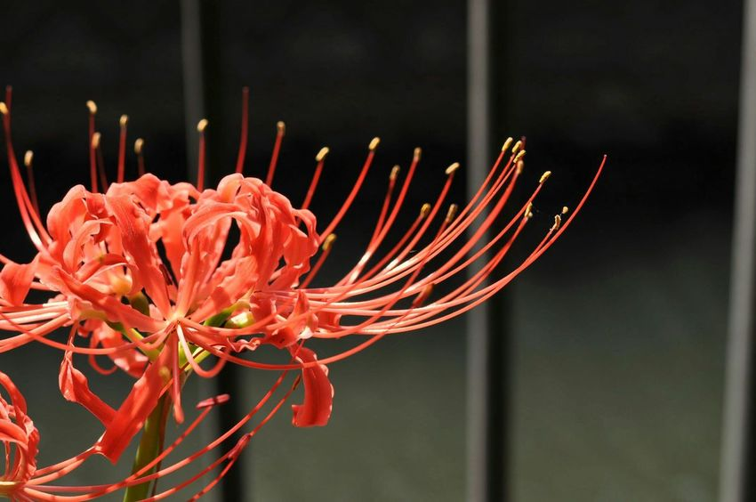 red spider lily Spiderlily Red 彼岸花 Streamzoofamily Floewers Lily Autumn