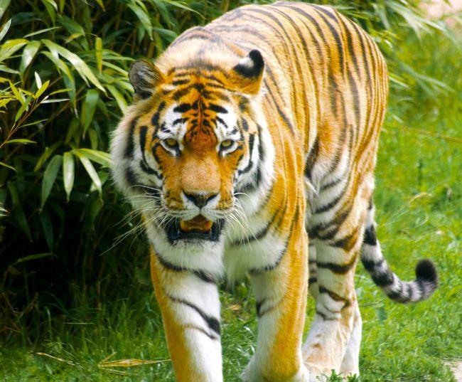 Big Cats Tigers
