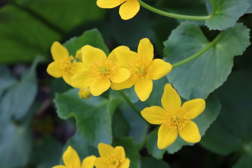 Marsh Marigold Wild Flowers Walk In The Woods Pure Michigan Flower Petal Fragility Yellow Beauty In Nature Flower Head Nature Freshness Growth Plant Blooming Outdoors Focus On Foreground Day Close-up Leaf No People One Animal Springtime Animal Themes