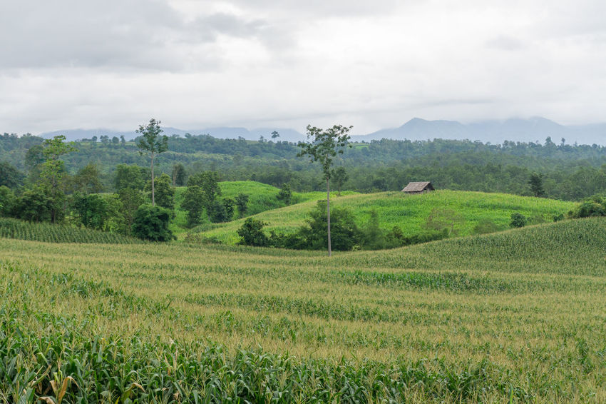 Agriculture Beauty In Nature Cloud - Sky Corn Corn Tree Corn Village Day Field Green Color Growth Landscape Mountain Nature No People Outdoors Rural Scene Scenics Sky Tranquil Scene Tranquility Tree