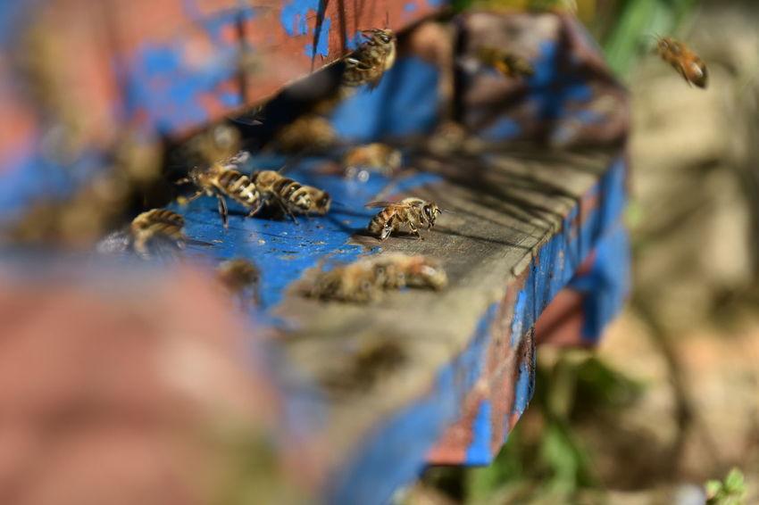 Makroaufnahmen eigene Bienen in Aldenhoven bei Jüchen Bienen  Bienen Bei Der Arbeit Bienenstock Bienen🐝 Jüchen Makro Fotografie Nikon D700 Aldenhoven Imker Nahaufnahme