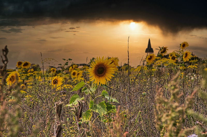 Sunflowers on field against sky during sunset