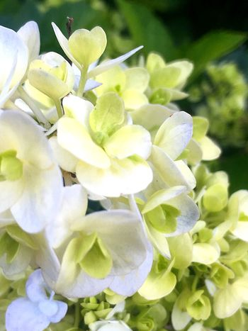 White cluster Flower Plant Flowering Plant Growth Freshness Beauty In Nature Fragility No People Close-up Petal Flower Head Green Color White Color Nature Day
