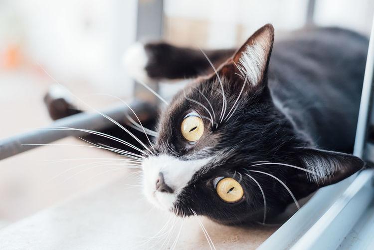 Animal Themes Black Close-up Cuddling Domestic Animals Domestic Cat Feline Looking At Camera One Animal Pets Portrait White Yellow Eyes