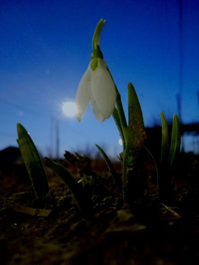 Snowdrop Single Flower VERONiCA Ionita PREMiUM Snowdrop Uppon Evening Sky Snow Drop Uppon Blue Dark Sky Ghiocel Blue Sky Evening Blue Sky Light Huaweiphotography Eyeem Market Veronica Ionita On Market Cucuveaua88 On Eyeem Market Veronica IONITA Photography Huawei Photography Sky Plant Blooming Petal In Bloom Single Flower Capture Tomorrow 2018 In One Photograph