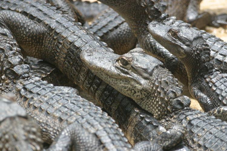 Close-up of alligator