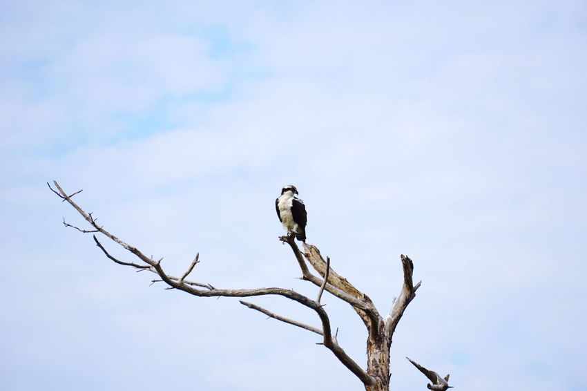 Osprey  Old Tree Sky And Clouds Bird Photography Animals In The Wild Branch One Animal Bare Tree Perching Sky Wildlife Bird Nature Avian Cloud - Sky