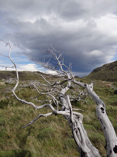 Bare Tree Beauty In Nature Branch Cloud - Sky Day Dead Plant Environment Field Grass Land Landscape Nature No People Non-urban Scene Patagonia Plant Sky Torres Del Paine Tranquil Scene Tranquility Tree