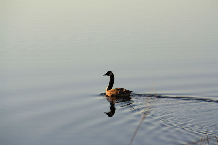 Canada goose swimming in lake