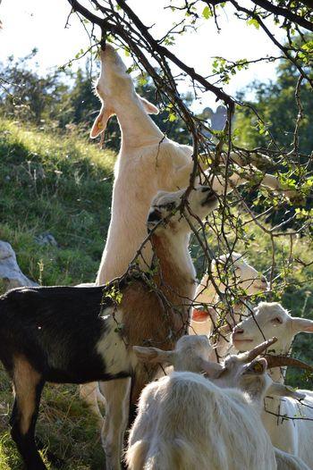 Goats in Bratislava, Slovakia 🇸🇰 Goat Goats Animal Animal Family Animal Themes Animal Wildlife Day Domestic Domestic Animals Field Goats Head Goats Life Goats On The Farm Group Of Animals Herbivorous Land Livestock Mammal Nature No People Outdoors Pets Plant Tree Vertebrate