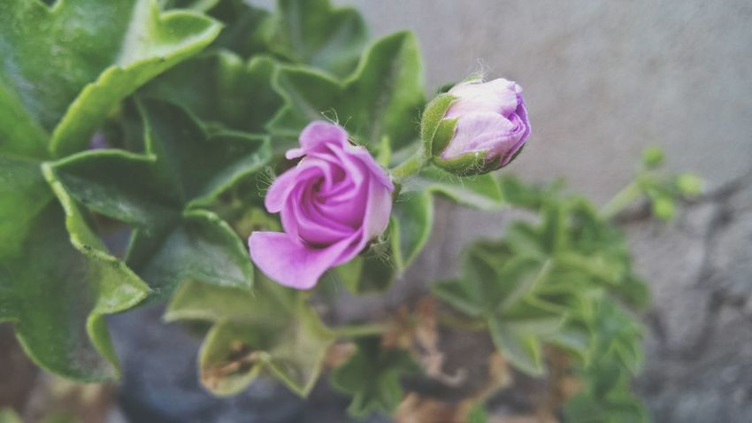 Flower Growth Plant Nature Fragility Beauty In Nature Plants 🌱 Beuty Of Nature Flowers,Plants & Garden Gardenflowers Beach Photography Plant Purple Flower Pink Color Green Color Freshness Petal Purple Flower Head Close-up Outdoors Leaf No People Day Blooming