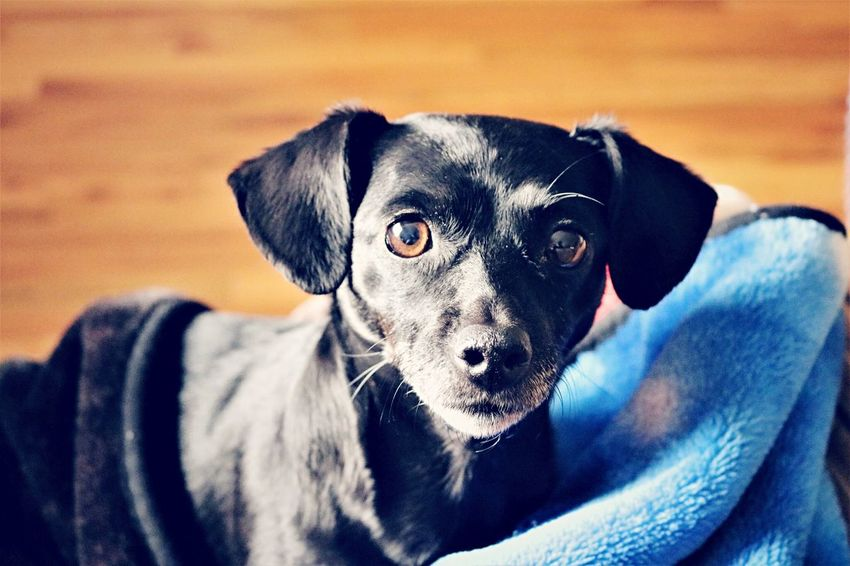 Tennessee Chattanooga Tennessee Chattanooga Chaweenie Chihuahua Weiner-Dog EyeEm Selects Dog Pets Domestic Animals Animal Themes Mammal One Animal Looking At Camera Portrait Close-up Indoors  Day No People