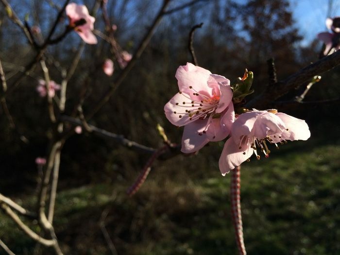 Beauty In Nature Blooming Blossom Bud Cherry Tree Close-up Day Flower Flower Head Focus On Foreground Fragility Freshness Growth In Bloom Nature No People Outdoors Petal Pink Color Plant Selective Focus Stamen Stem Tree Twig