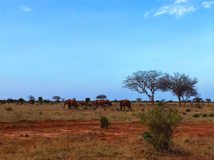 Landscape Nature Tree Animal Themes Sky No People Large Group Of Animals Mammal Animals In The Wild Tranquility Grass Beauty In Nature Tranquil Scene Safari Animals Safari Whildlife African Beauty Africa Tsavo Est Elephants Crossing Elephant Nature Park Elephants Tranquility Rural Scene Savannah