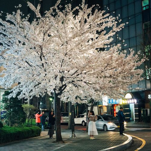 Nightphotography Tree Men Women Group Of People Walking Sky Flower Tree Cherry Blossom Cherry Tree Blossom In Bloom
