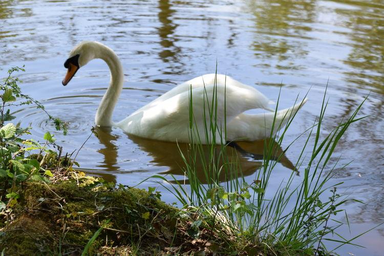 'Mute Swan