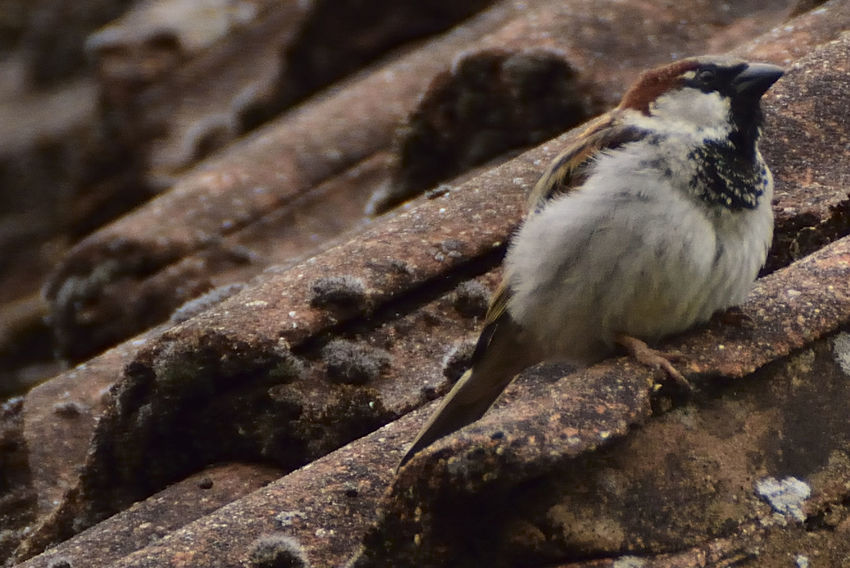 Close-up Day Garden Birds Garden Photography House Sparrow Nature No People Outdoors Passer Domesticus Roof Tiles