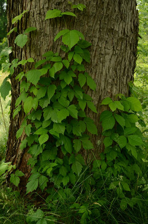 Poison Ivy vines growing up Maple Treet trunk Botany Day Green Green Color Growing Growth Leaf Nature No People Outdoors Plant Poison Ivy Tree Tree Trunk