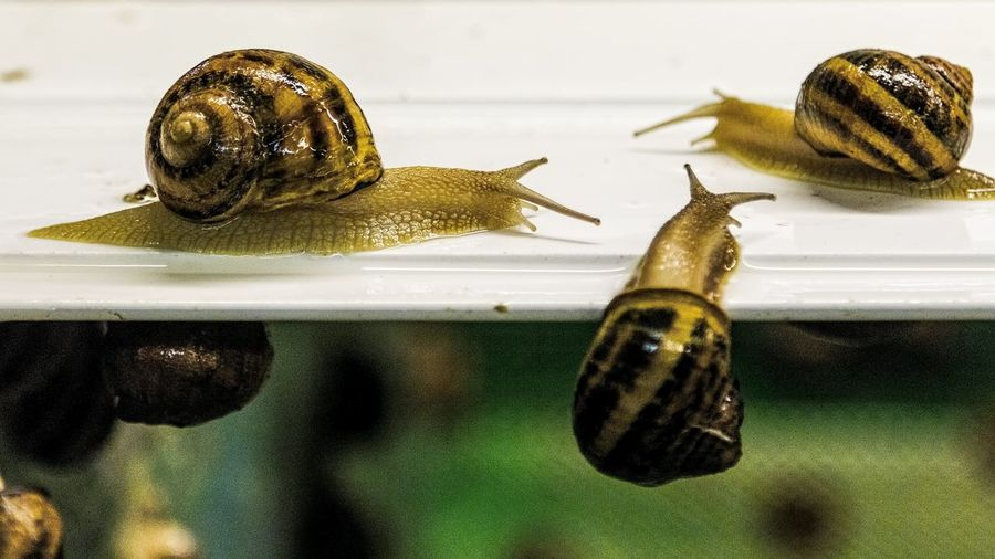Helix Aspersa Maxima Snail African Snails Animal Shell Animal Themes Close-up Crawling Focus On Foreground Gastropod Molluscs Mollusk Nature No People Shell Small Snail Snails