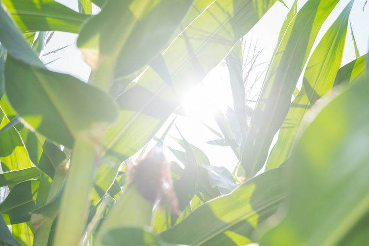 Low angle view of sunlight streaming through leaves